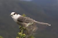 Gray Jay; Perisoreus canadensis; adult; summit Mt. Jefferson; White Mountains; NH