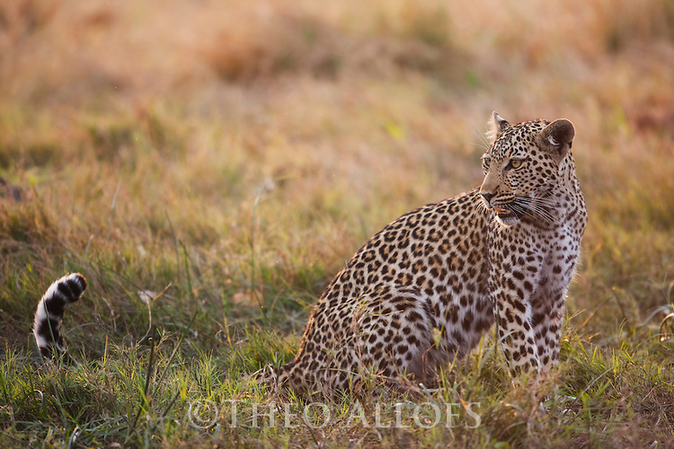 Botswana, Okavango Delta, Moremi; leopard in grass