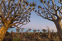 A Quiver Tree Forest scene.
