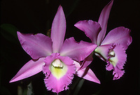 Rhyncholaeliocattleya aka Brassocattleya Angel Lace 'Breckinridge', AM/AOS, hybrid of Cattleya Little Angel x Rhyncholaelia digbyana, 1987