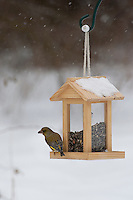 Grünfink, Grünling, Männchen an der Vogelfütterung, Fütterung im Winter bei Schnee, frisst Körner am Futtersilo, Futterspender, Vogelhäuschen, Winterfütterung, Grün-Fink, Chloris chloris, Carduelis chloris, greenfinch, Verdier d'Europe