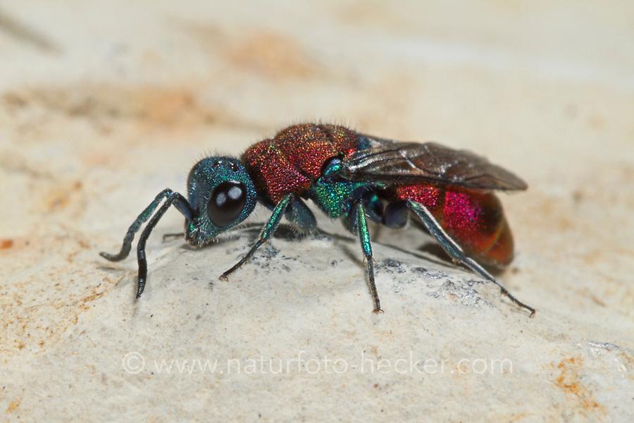 Goldwespe, Chrysura dichroa, Chrysis dichroa, Goldwespen, Chrysididae, cuckoo wasp, cuckoo wasps