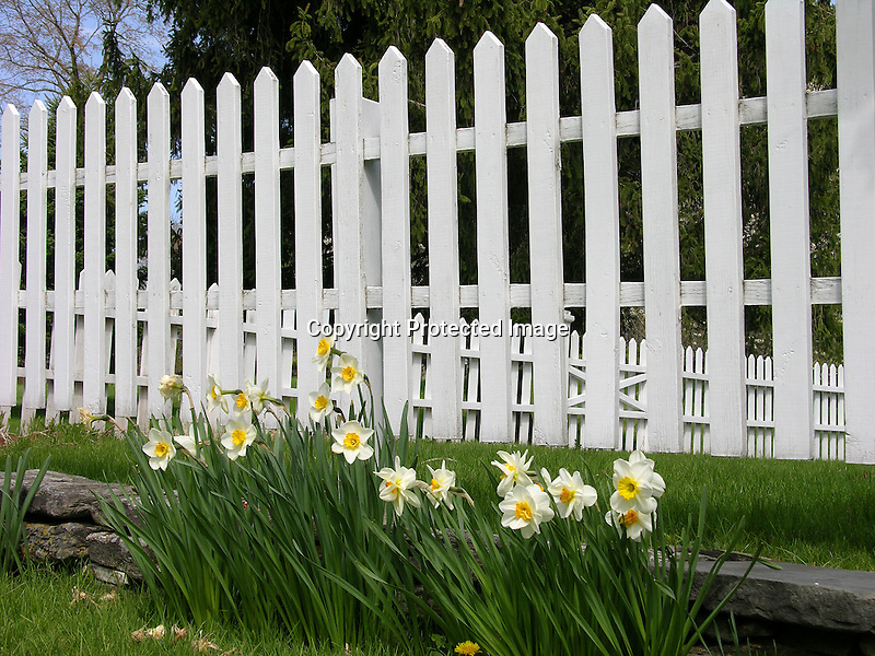 Daffodil Garden at Home of Poet Robert Frost in Vermont, New England, USA