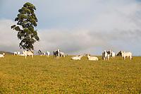 Fortaleza de Minas_MG, Brasil...Gado em um pasto em Fortaleza de Minas...Cattle in a pasture in Fortaleza de Minas...Foto: LEO DRUMOND / NITRO
