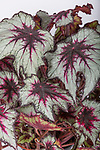 Begonia 'Silver Spirit'. Plant of the Year. RHS Chelsea Flower Show 2017.