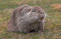 Nutria, Sumpfbiber, Sumpf-Biber, Biberratte, Biber-Ratte, Myocastor coypus, Coypu, Ragondin