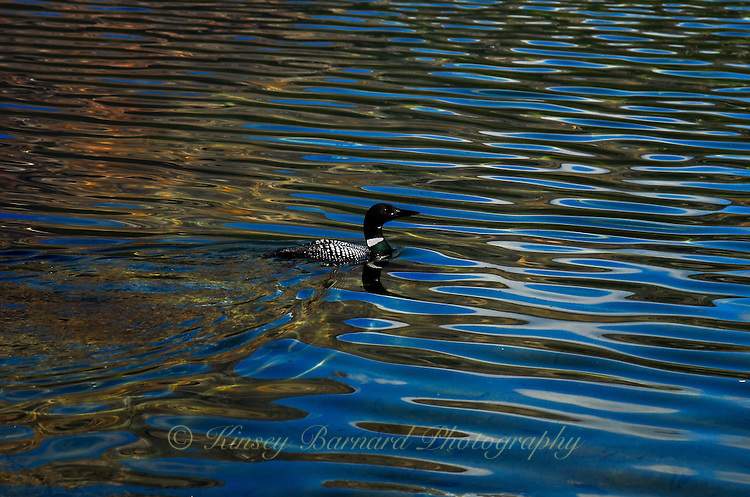 A beautiful loon swimming on Patricia Lake in Jasper National Park Alberta Canada