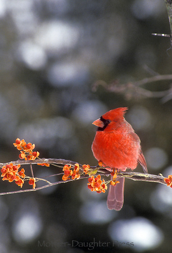 Male northern cardinal, Cardinal cardinalis,  perched on branch with bittersweet