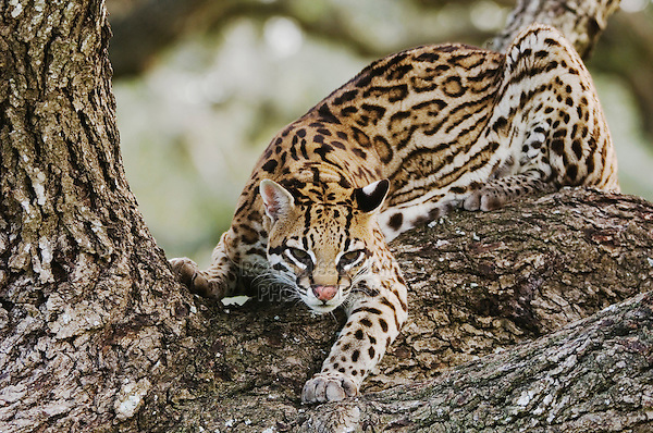 Ocelot, Felis pardalis, captive, female on mesquite tree, Welder Wildlife Refuge, Sinton, Texas, USA