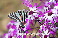 03006-002.11 Zebra Swallowtail (Eurytides marcellus) on Cineraria 'Senetti Magenta Bicolor' (Pericallis) Holmes Co. MS
