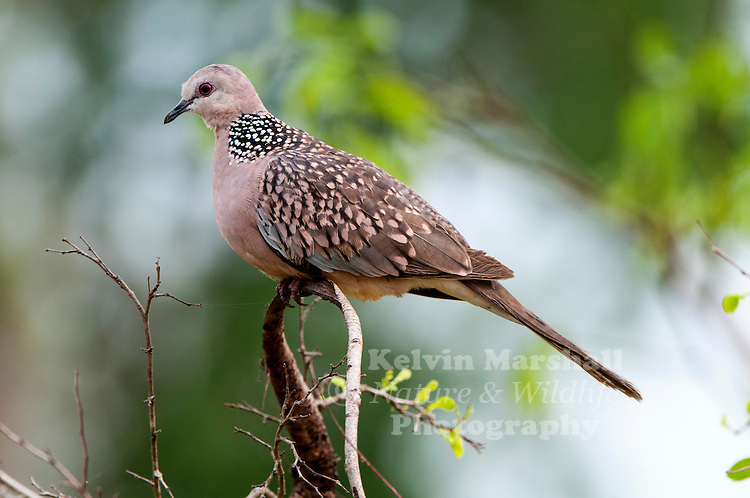 Spotted Dove (Spilopelia chinensis) is a small and somewhat long-tailed pigeon which is a common resident breeding bird across its native range on the Indian Subcontinent and Southeast Asia. Bundala National Park - Sri Lanka.