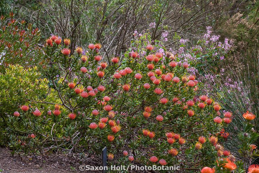 Leucospermum 'Scarlet Ribbon' (Pincushion); San Francisco Botanical Garden
