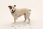 Emma, Jack Russel Terrier, in snow with one paw elevated.