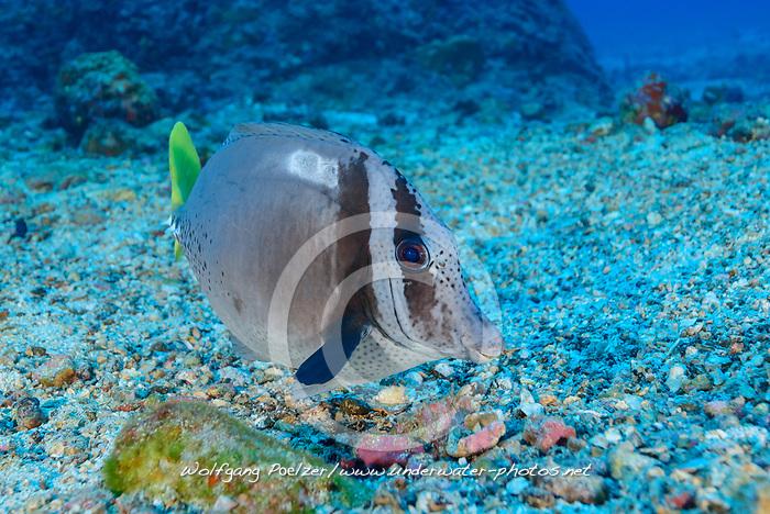 Galapagos Doktorfisch (Prionurus laticlavius), Insel Cocos, Costa Rica, Pazifik, Pazifischer Ozean / Razor Surgeonfish (Prionurus laticlavius) Cocos Island, Costa Rica, Pacific Ocean