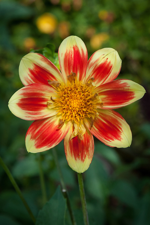 Dahlia 'Pooh', early August. A Collerette Group dahlia registered in 1998 by Swan Island Dahlias, Canby, Oregon.