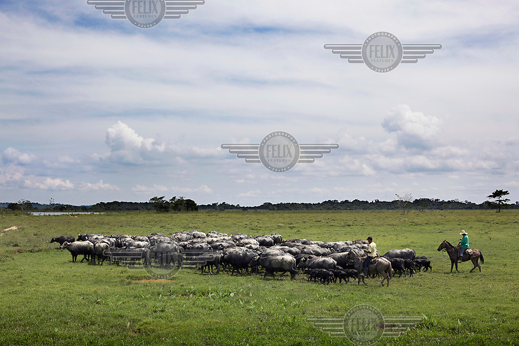 Water buffalo being herded in Sabana de Torres, a municipality in the Magdalena River valley in Santander Department. The buffalo are principally reared to produce milk.