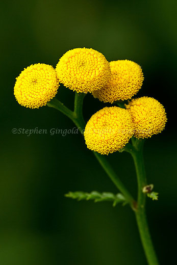 Tansy against a soft green background.
