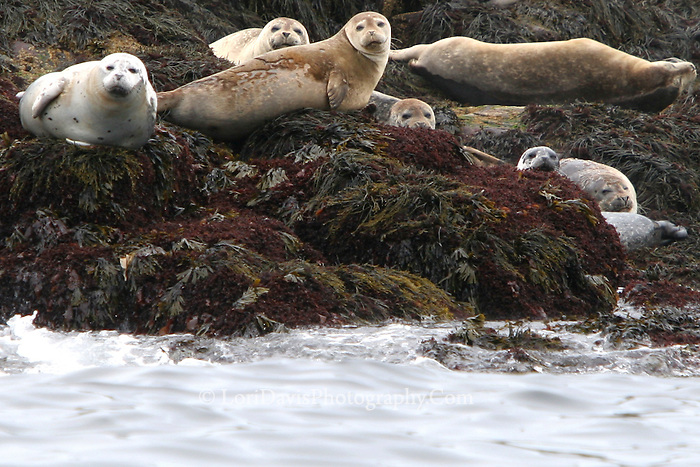Harbor Seals on Rocks  #W13