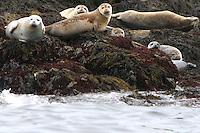Harbor Seals on Rocks  #W13
