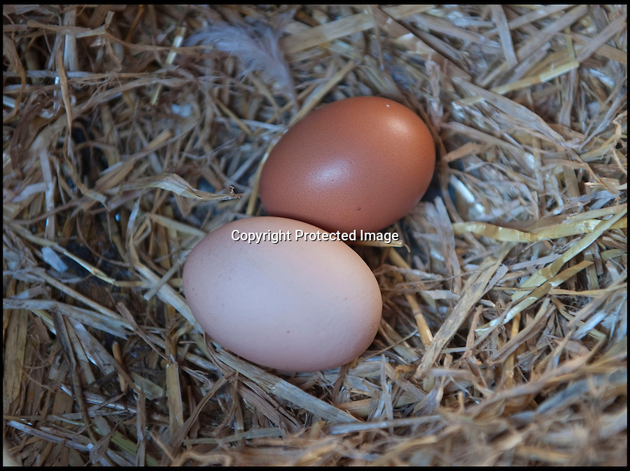 BNPS.co.uk (01202 558833)<br /> Pic: PhilYeomans/BNPS<br /> <br /> Julie has more eggs from her guest's than she know's what to do with.<br /> <br /> Fowlty Towers - Egg-ceptional new hotel for hens.<br /> <br /> The boom in hen keeping across Britain has led a canny Kent lady to spotting a gap in the market for a deluxe hotel for punters beloved poultry whilst they jet off on their summer hols. <br /> <br /> Julie Smith from Cowden is inundated with requests for 'rooms' at 'Fowlty Towers', with customers booking months in advance to secure a spot for their prized birds. <br /> <br /> Julie's all-inclusive resort costs a poultry £7 a night for each run, with round the cluck service including all food and drink.