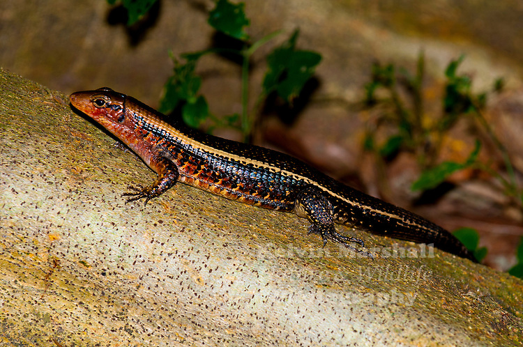 This species the Madagascan Plated Lizard (Zonosaurus madagascariensis) is widely distributed in Madagascar, occurring in most parts of the country (even if only as isolated populations), and on the nearby islands of Nosy Be, Nosy Komba, Nosy Sakatia, and Nosy Tanikely. - Ambanja (Cocoa plantations) Northern Madagascar.