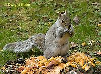 MA23-541z  Gray squirrel eating pumpkin fruit and seeds, Sciurus carolinensis