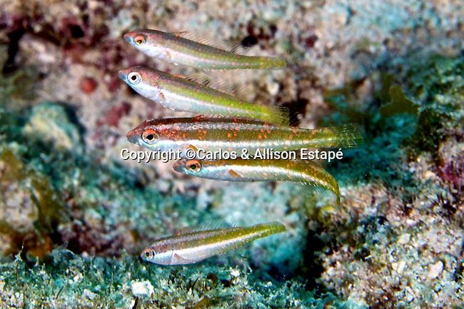 Cryptotomus roseus, Bluelip parrotfish, juvenile, Florida Keys