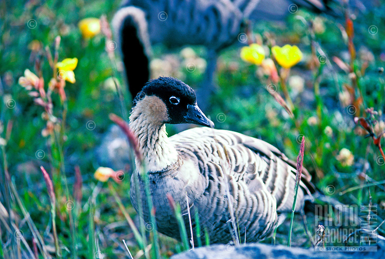 Close-up of a nene goose, an endangered native bird species (nesochen sandvicensis) photographed at Haleakala national park.