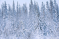 SNow falling on trees at treeline. Hudson Bay coastline. Subarctic.<br />