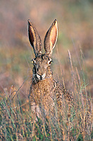 650228001 a wild black-tail jackrabbit lepus californicus poses in tall grass on a ranch in the rio grande valley of south texas