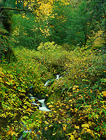 769550381 a small stream meanders through a fern covered forest with bigleaf maple trees acer macrophylum turning yellow in the fall in redwood trail state park oregon