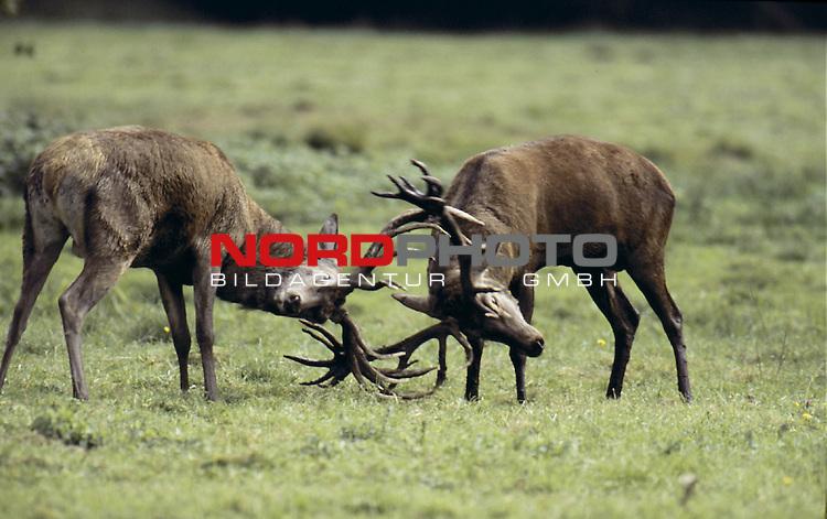 """Die Haupterntezeit des Landwirtes endet in diesem Monat, die Haupterntezeit des Jägers beginnt mit der Hirschbrunft. Es offenbart sich uns, dass der """"Feldjagdmonat"""" oder """"Schneiding"""", wie der September auch genannt wird, vielfältige Jagdfreuden bereit hält. Doch noch ein weiterer Name für den Monat der Hirschbrunft ist bezeichnend: """"Herbsting"""". Die dritte Jahreszeit ist angebrochen…Foto © nordphoto"""