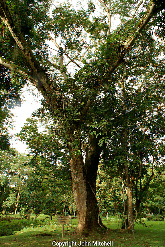 Guanacaste tree, the national tree of Costa Rica, at  Lancetilla Botanical Garden, Honduras. Lancetilla Garden was established by American botanist William Popenoe in 1926.