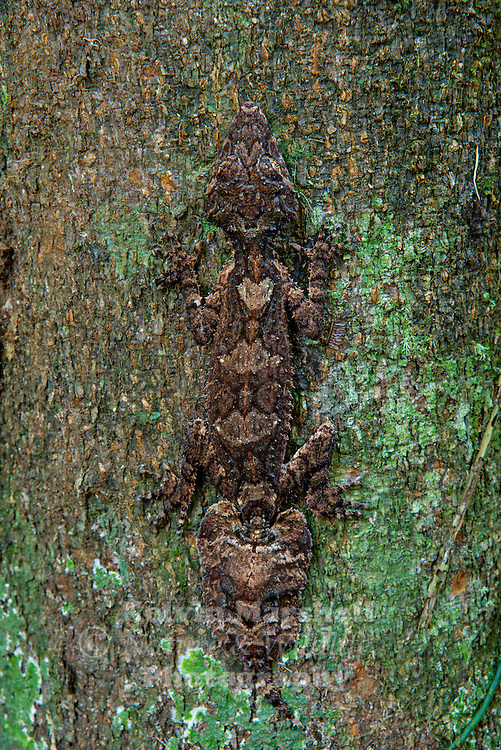 The species Phyllurus are only found here in Australia. The Northern Leaf tailed gecko has 3 isolated populations down the east coast of Australia .This great looking Gecko is as large as any Gecko being 16 cm in length, with some growing to the length of 25cm.The fact that very few adults are found to still have their original tails shows that the gecko do have enemies, this tree dwelling nocturnal animal has sluggish movements and camouflages well with its surroundings. In appearance it's body looks spikey and has thin clawed fingers (digits)helping it climb over rough surfaces. The female of this species lays 2 soft shelled eggs .