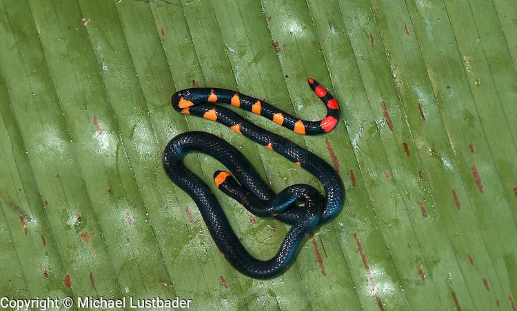 Pygmy (Dwarf) Black Coral Snake (Leptomicrurus scutiventris).in Peruvian Amazon