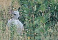 Hypomelanistic deer, Md.