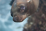 California Sea Lion close up portrait underwater at Los Islotes, La Paz Mexico, Worlds best shallow dive