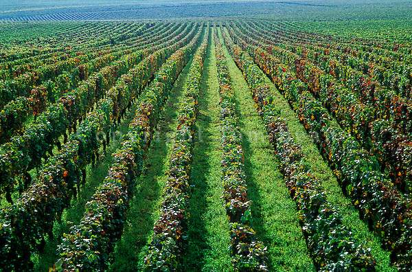 Grand Cru vineyards on Corton Hill near village of Aloxe Corton in the Cotes de Beaune wine region, Burgundy, France, AGPix_0382...