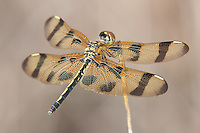 Halloween Pennant (Celithemis eponina) Dragonfly - Female, Lake Kissimmee State Park, Lake Wales, Polk County, Florida