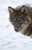 Wolf, im Winter im Schnee, Portrait, Canis lupus, gray wolf