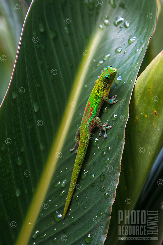 A close-up of a day gecko (or gold dust day gecko) on a leaf in Hilo, Big Island.