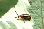 Striped Cucumber Beetle, Acalymma vittata