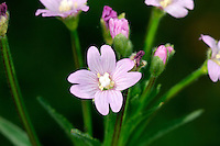 HOARY WILLOWHERB Epilobium parviflorum (Onograceae) Height to 75cm. Downy perennial. Similar to Great Willowherb but smaller, with non-clasping leaves. Found in damp habitats. FLOWERS are 12mm across with pale pink, notched petals and a 4-lobed stigma (Jul-Sep). FRUITS are pods that contain cottony seeds. LEAVES are broadly oval; upper ones are alternate. STATUS-Widespread and common, except in N.