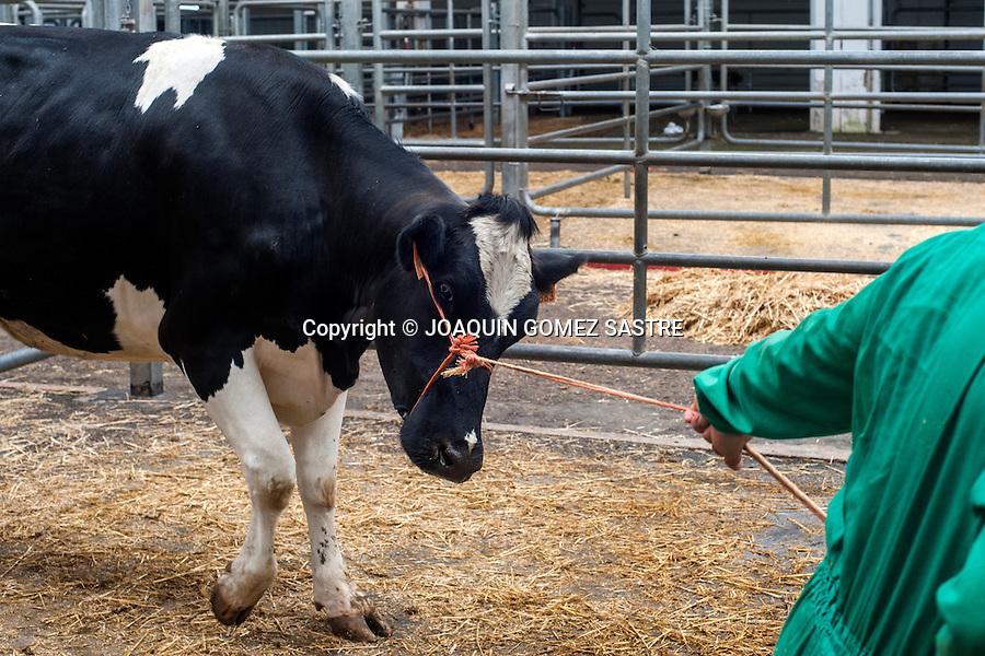 Un ganadero trae una de sus vacas para vender en el mercado nacional de ganados de Torrelavega (Cantabria)