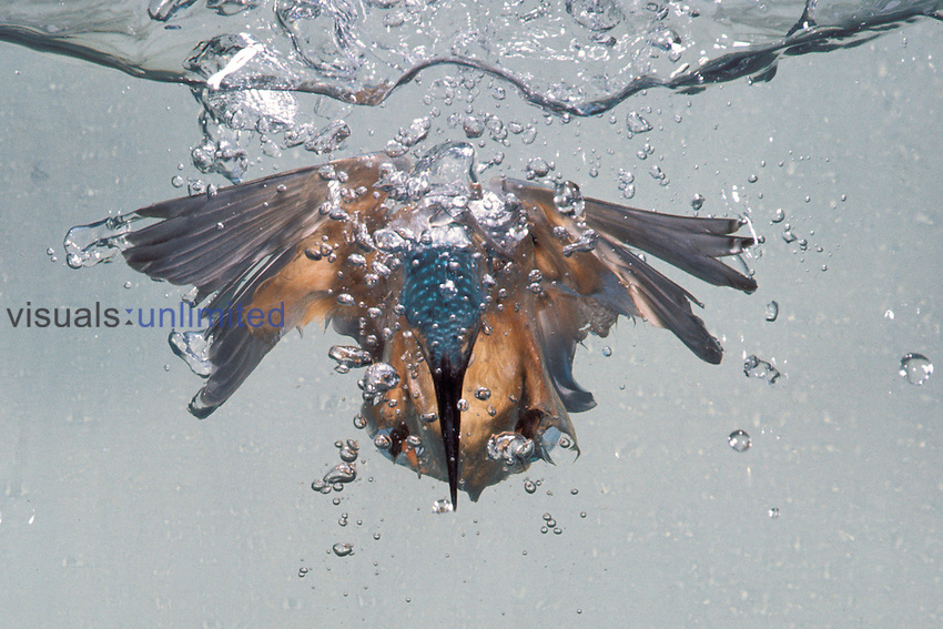 Kingfisher diving for prey (Alcedo atthis).