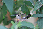 FB-S155  Back faded photo.  Costa's hummingbird in nest