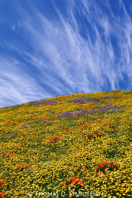 Southern California's fields of gold turn to a multi-hued carpet of wildflowers in the spring of rare years when copious winter rainfall combines with surprisingly colder than average temperatures.<br /> Tehachapi Mountains