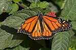 Monarch, Danaus plexippus, Southern California