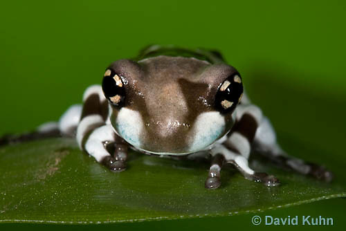 0305-0909  Froglet, Amazon Milk Frog (Marbled Tree Frog), Trachycephalus resinifictrix (formerly: Phrynohyas resinifictrix)  © David Kuhn/Dwight Kuhn Photography