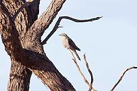 Pallid Cuckoo, west of Pt Augusta, SA, Australia